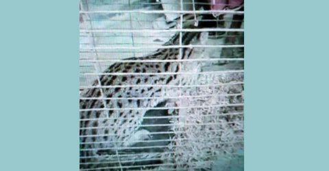 হবিগঞ্জের বানিয়াচংয়ে লোহার ফাঁদে ধরা পড়ল মেছো বাঘ