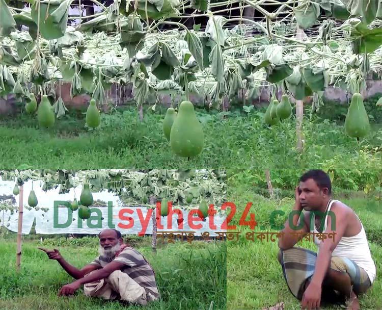 দূর্বৃত্তদের হামলায় মৌলভীবাজারে কৃষকের লক্ষাধিক টাকার লাউগাছের ক্ষয়ক্ষতি